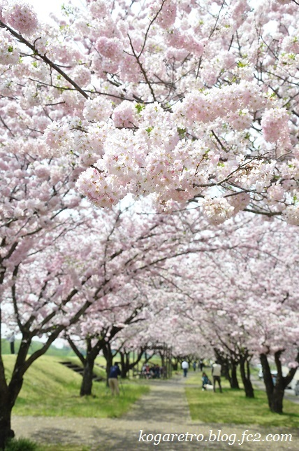 2017小山の思川桜6