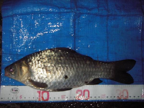 中川 フナ 33cm ダンゴ