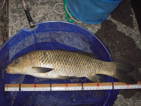 中川 鯉 43cm 両ダンゴ