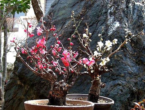 老木の梅の花001