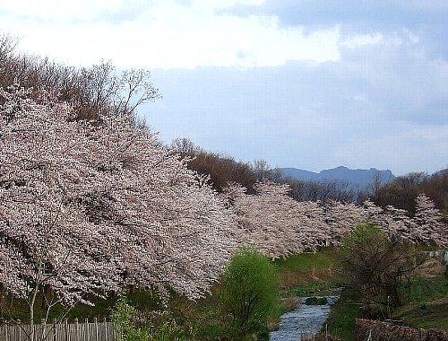 大学の桜001