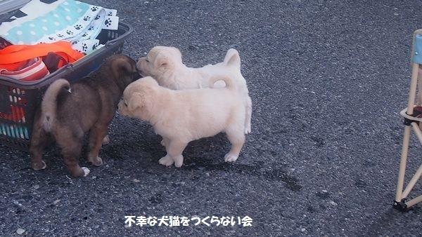子犬 (3)