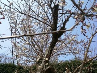 3月19日梅が満開
