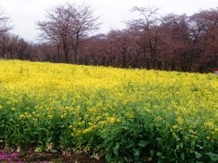 赤城の菜の花