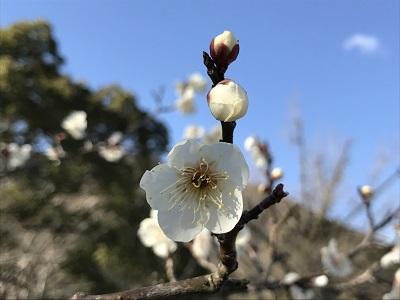 吉香公園の梅 (2)