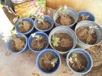 2017年4月11日・ワイルドストロベリーの植え直し後