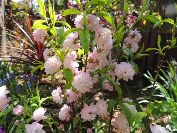 ちび桜061