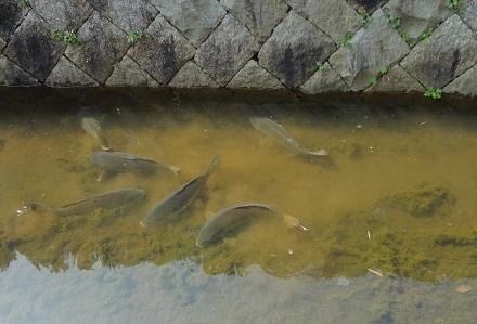 川藻を食べる1