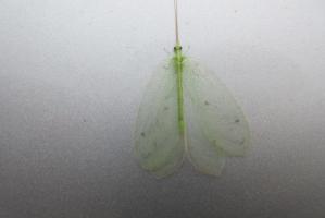 薄緑の羽虫