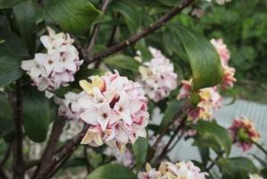 3月5日の沈丁花