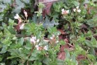 3月5日の小白花