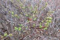 3月5日の木の芽