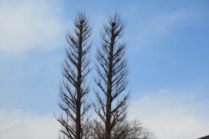 二本の木立