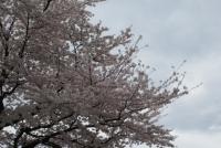 エステの満開の桜