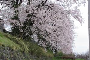 伊勢原南公民館の近くの桜