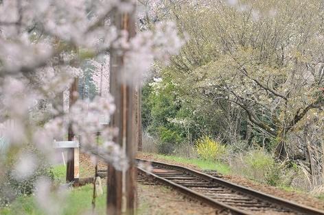 桜の花を前ボケで・・・