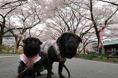 桜トンネルの下で