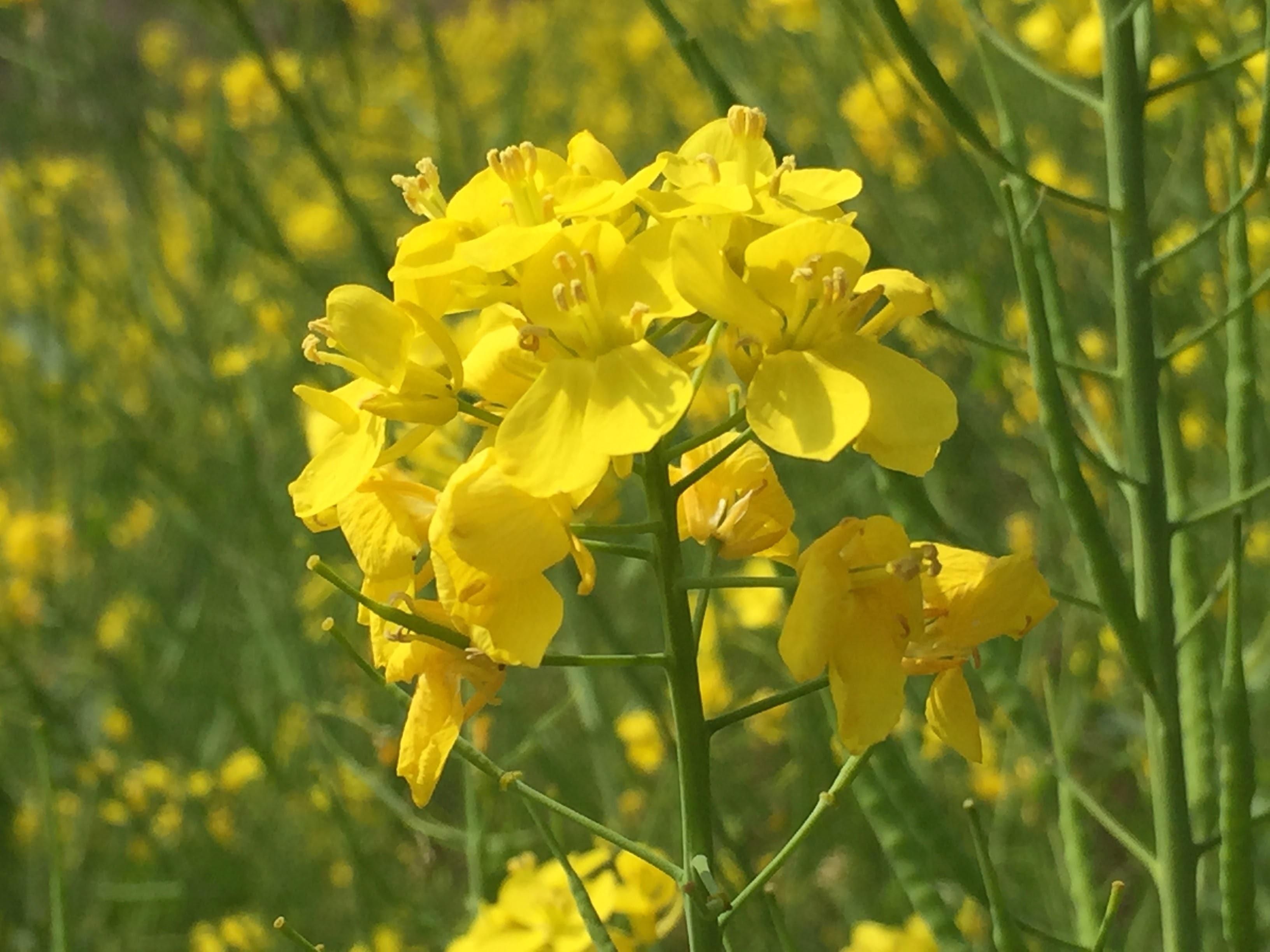 菜の花-haru