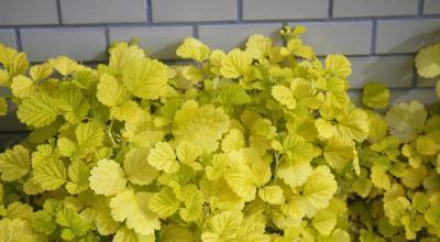 Rubus parvifolius Sunshine Spreader