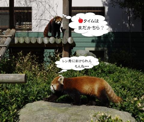 福岡市動物園のレッサーパンダ♀マリモちゃん ♂ノゾム君