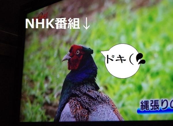NHKのキジ