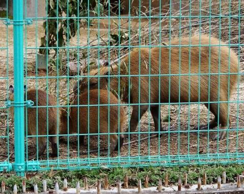 大牟田市動物園 カピパラの親子