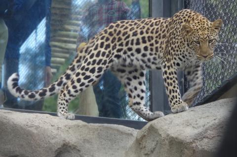 福岡市動物園のヒョウ キララちゃん 現在はとべ動物園にいる