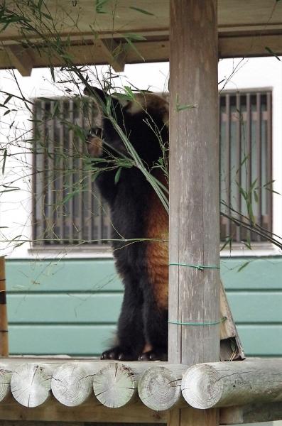 ノゾム君 ♂ 福岡市動物園のレッサーパンダ