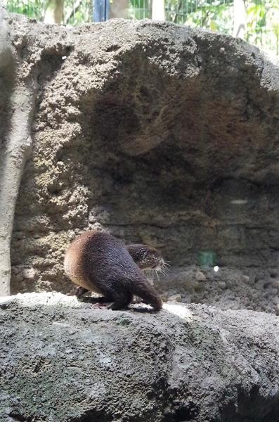 福岡市動物園のコツメカワウソ