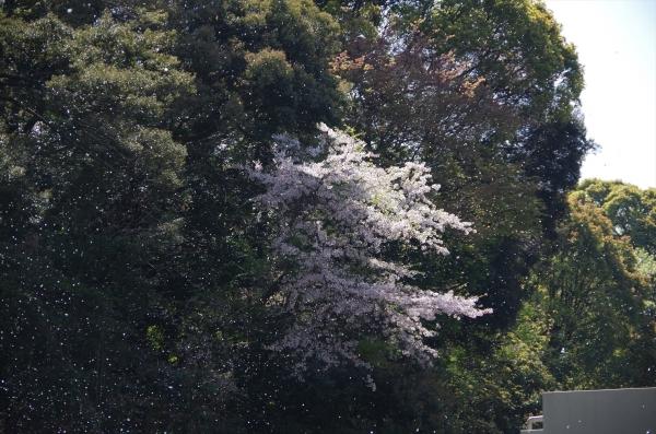 福岡市動物園の桜 桜吹雪