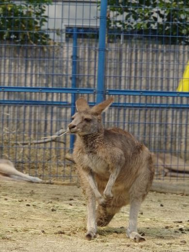 大牟田市動物園 カンガルー ♂
