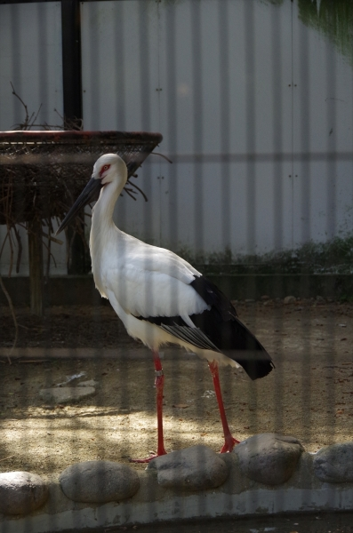 福岡市動物園 ニホンコウノトリ