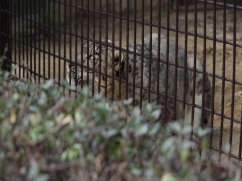 大牟田市動物園 ユキヒョウ スピカちゃん ハズバンダリートレーニング中