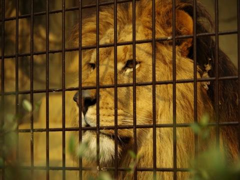 大牟田市動物園 ライオン あさひ君