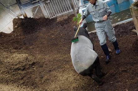 福岡市動物園のマレーバク