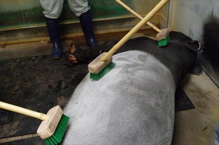 福岡市動物園のマレーバク 記念ガイド ブラシゴシゴシ体験中