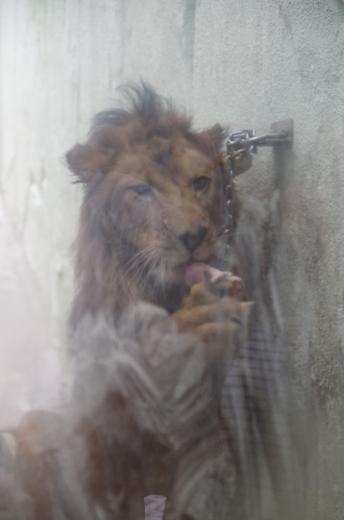 福岡市動物園 ライオン チャチャ丸君