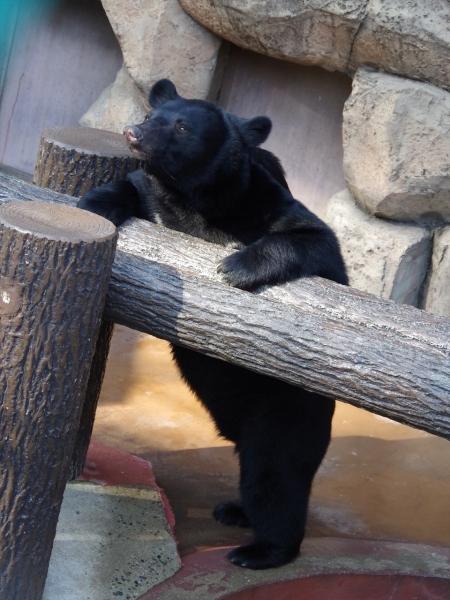 ツキノワグマ 福岡市動物園