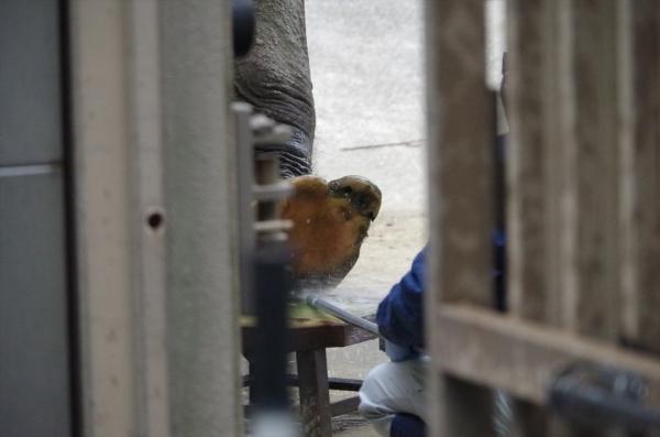 福岡市動物園 象舎内 はなこさん ハズバンダリートレーニング