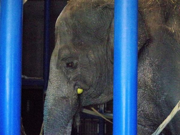 福岡市動物園 象舎内 はなこさん