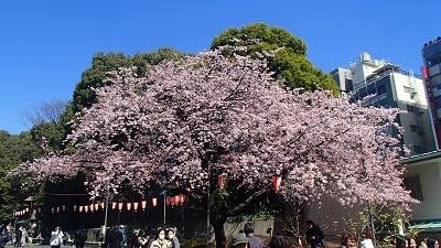 2017上野公園寒桜