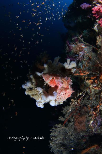 伊豆海洋公園のオニカサゴ