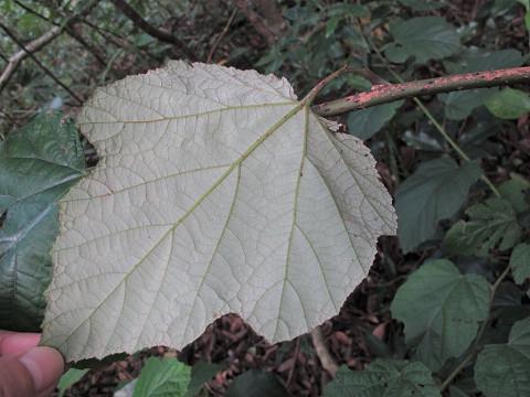 オキナワウラジロイチゴ20120617