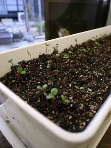 170417_タデ藍の芽