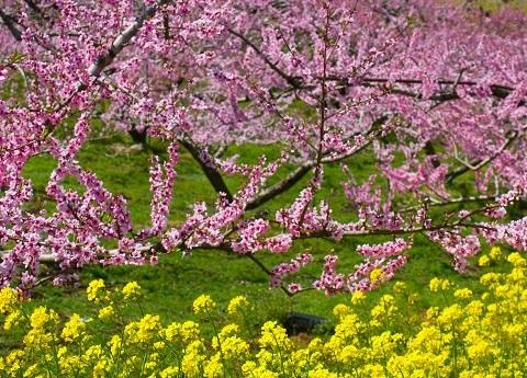 170303 桃と菜の花