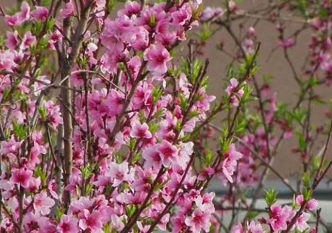 170325 桃の花
