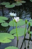 BL170402鶴見緑地の花2-2IMG_3711