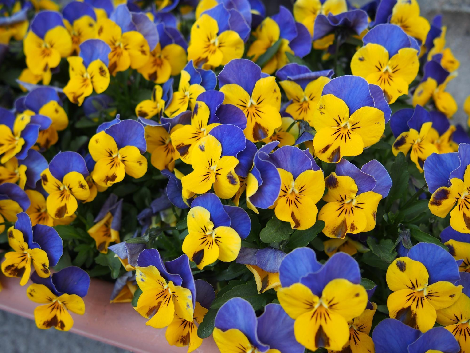 青と黄色の花