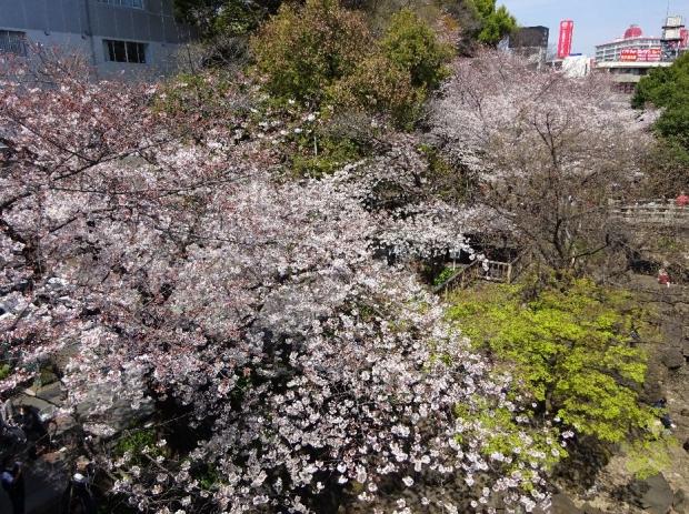 桜@王子親水公園 (4)