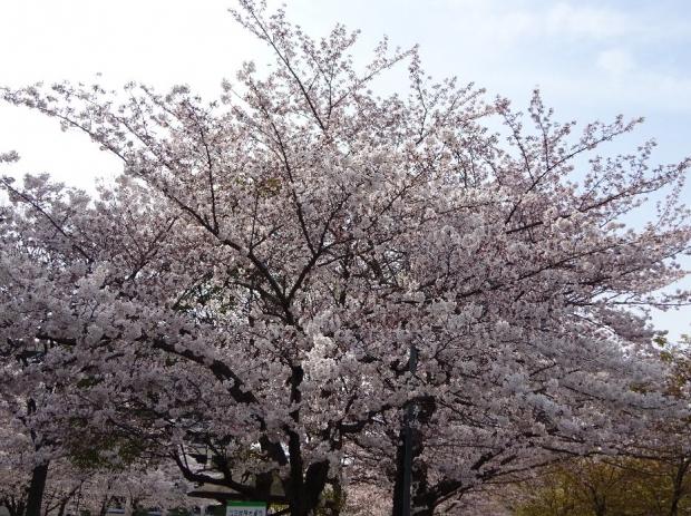 桜@川口元郷 (1)